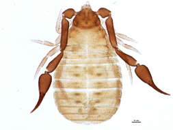 Image of pseudoscorpions