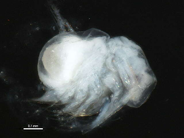 Image of branchiopods