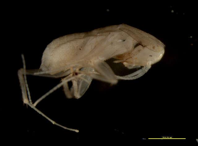 Image of Corydioidea