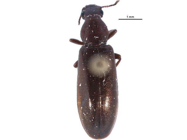 Image of Darkling Beetles and relatives
