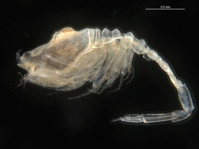 Image of Nannastacidae