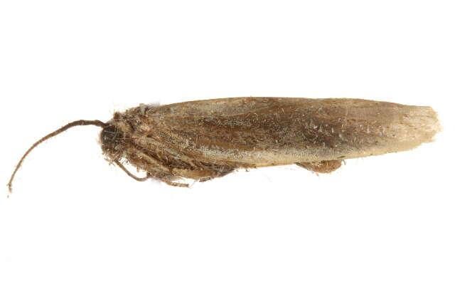 Image of Urodoidea