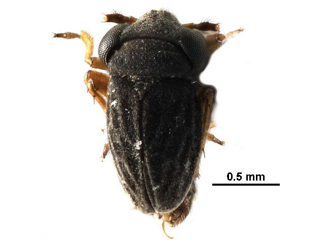 Image of Dipsocoromorpha