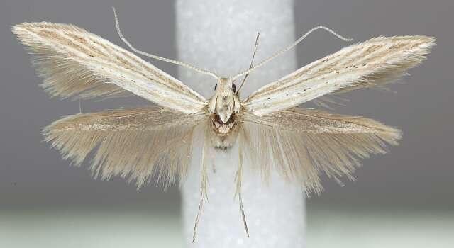 Image of <i>Coleophora silenella</i> Herrich-Schäffer 1855