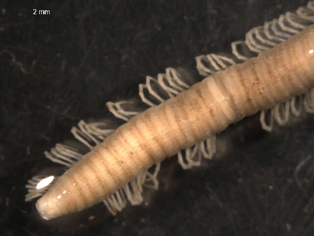 Image of millipedes