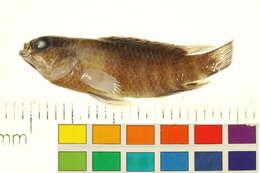 Image of Anabantiformes