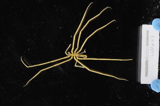 Image of Colossendeidoidea