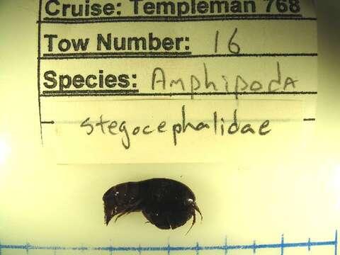 Image of Stegocephaloidea