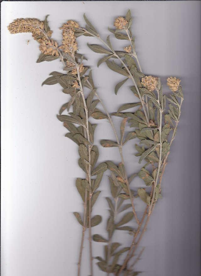 Image of <i>Otholobium striatum</i> (Thunb.) C. H. Stirt.