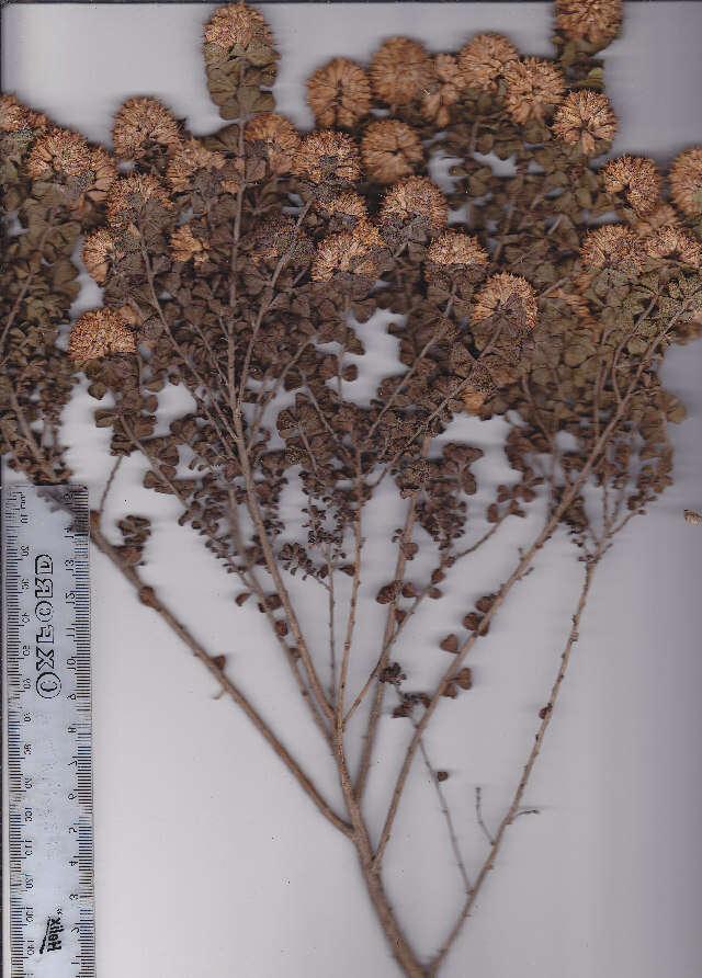 Image of <i>Otholobium acuminatum</i> (Lam.) C. H. Stirt.