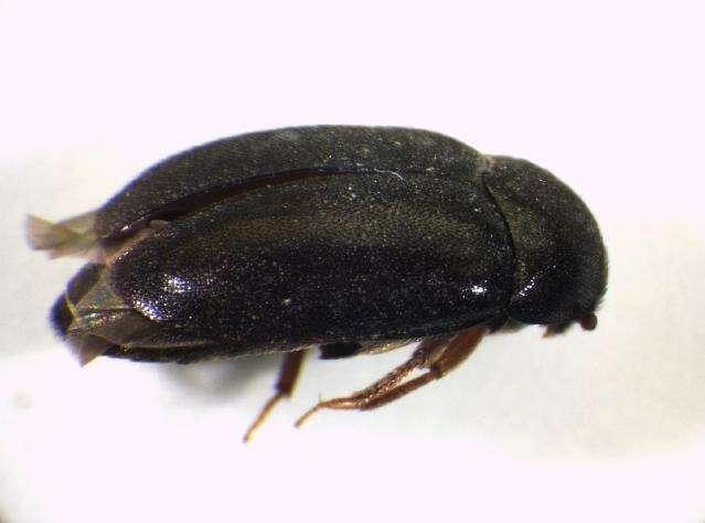 Image of skin beetles