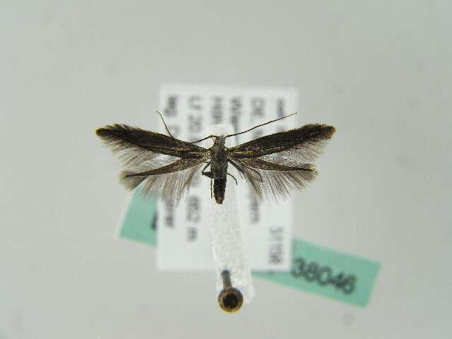 Image of casebearer moths