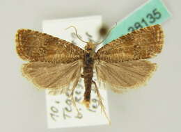 Image of Celypha
