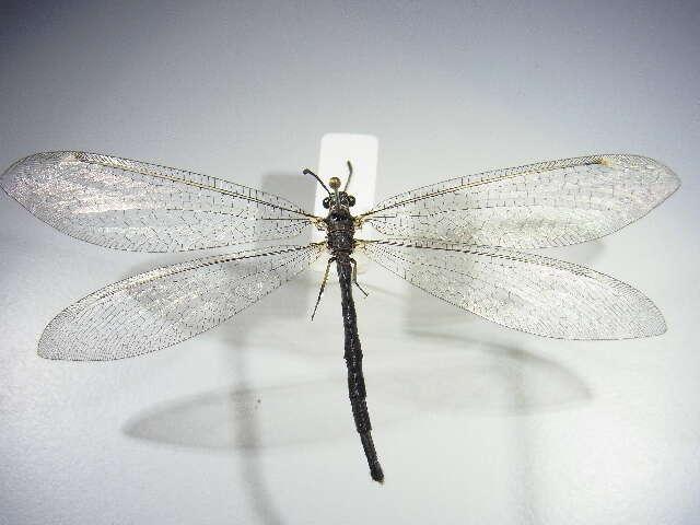 Image of Myrmeleontiformia