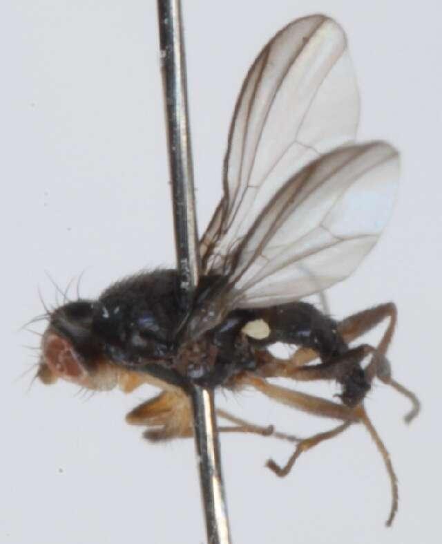 Image of acartophthalmid flies