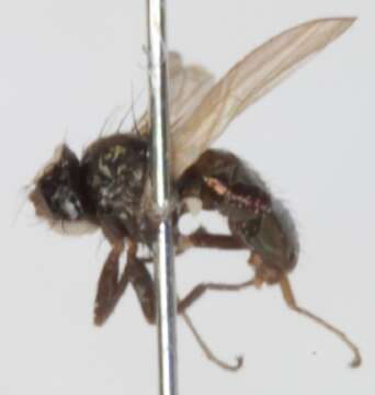 Image of Ephydroidea