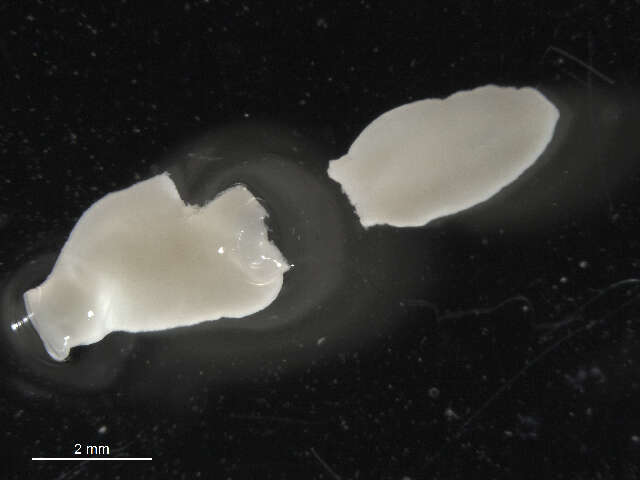 Image of Echinostomatoidea