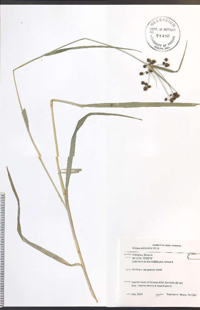 Image of Sedges