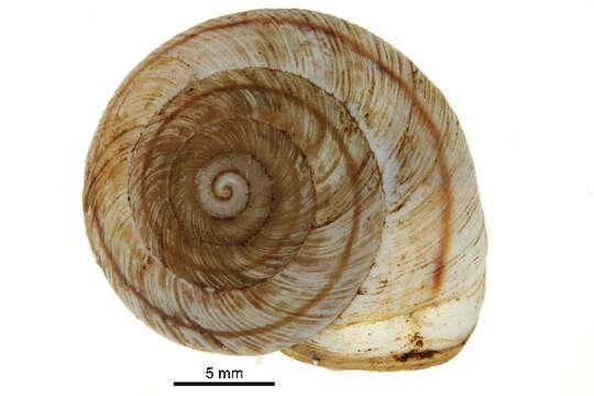 Image of mountain snail