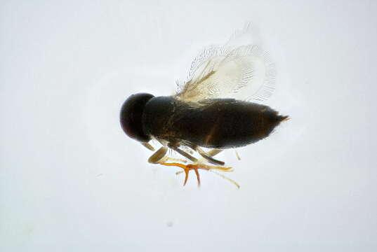 Image of Signiphoridae
