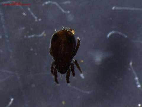 Image of Crotonioidea