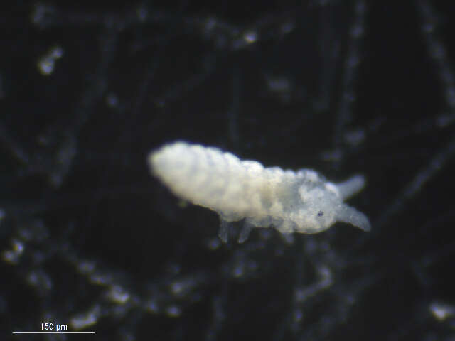Image of Neanuroidea