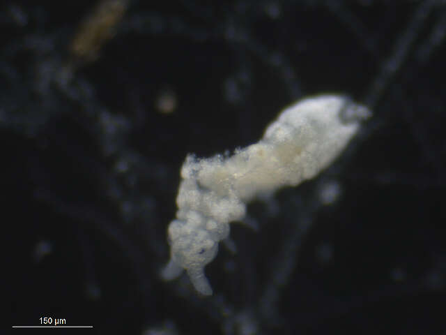 Image of Neanuridae
