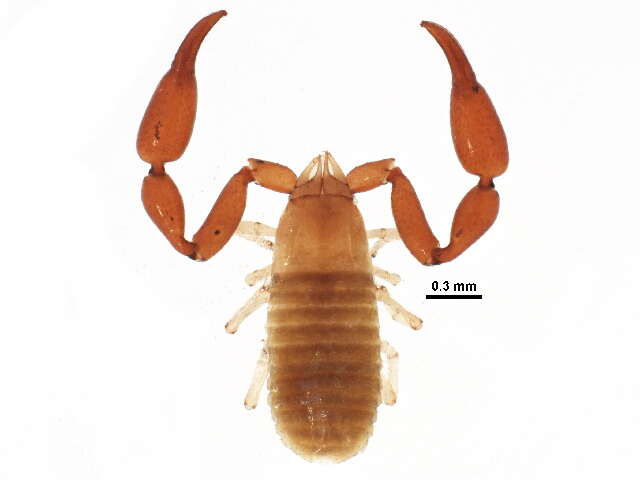 Image of Neobisioidea