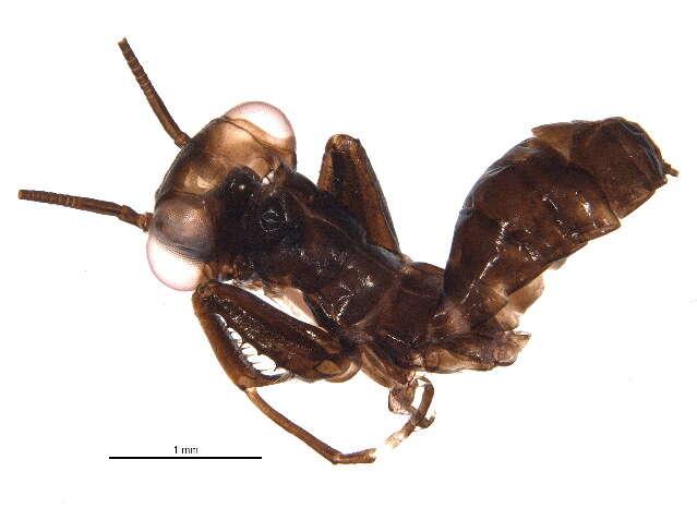 Image of Mantoididae