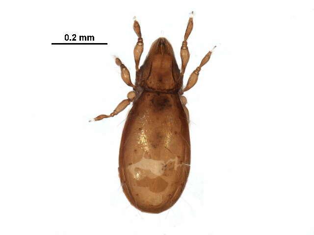 Image of Carabodoidea
