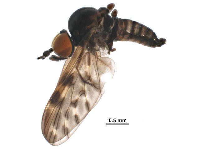 Image of Tabanomorpha