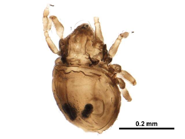 Image of Cymbaeremaeoidea