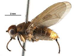 Image of Sciomyzoidea