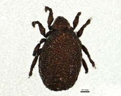 Image of Ameronothroidea