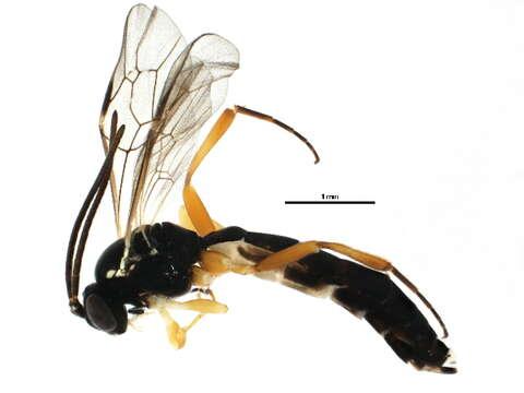 Image of <i>Phthorima xanthaspis</i> (Thomson 1890)