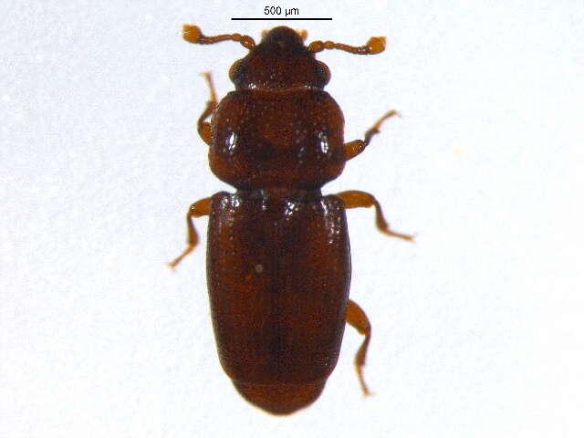 Image of Sap, Bark and Fungus Beetles