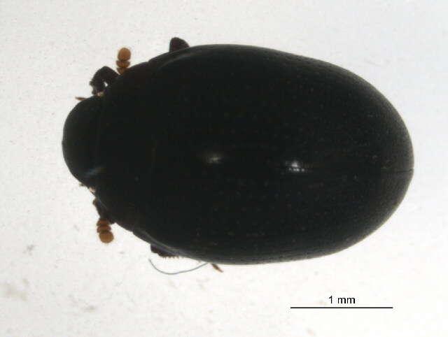 Image of Derodontoidea