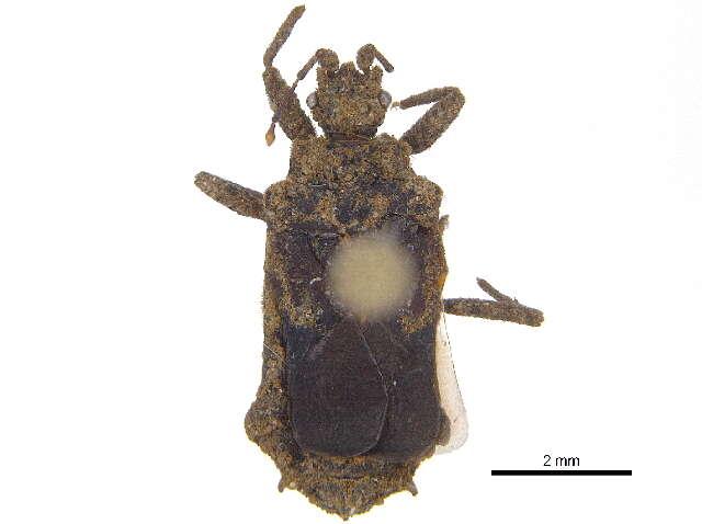 Image of Aradoidea