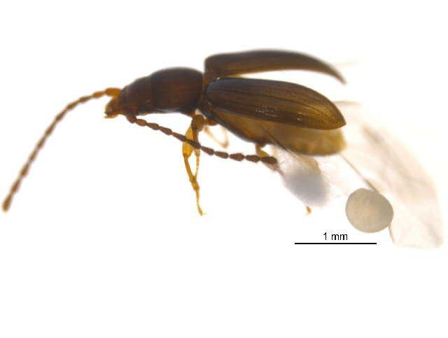 Image of Cucujoidea