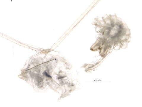 Image of Haplogynae