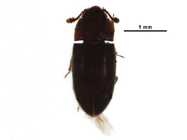 Image of Cleroidea