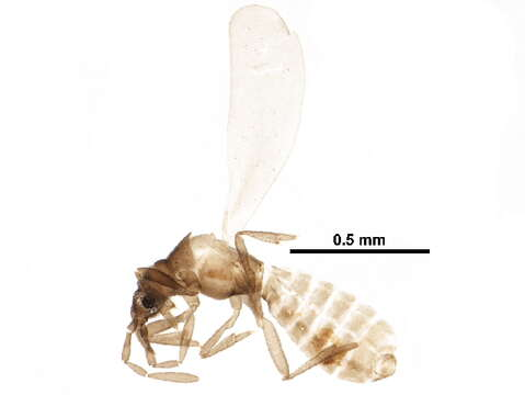 Image of Enicocephalomorpha