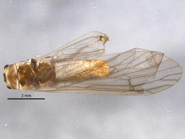 Image of Pteronarcyoidea