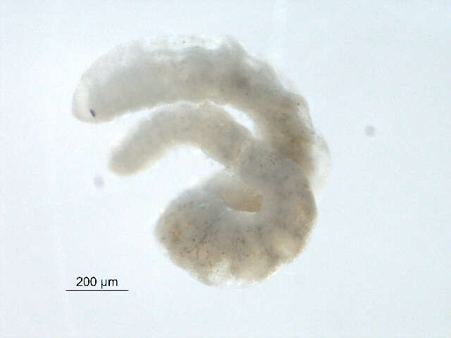 Image of Protostomes