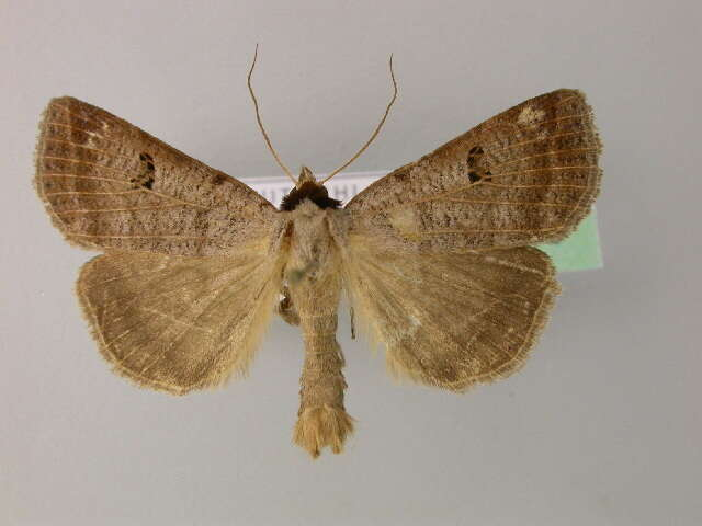 Image of Lygephila