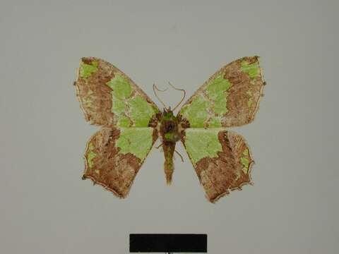 Image of Agathia