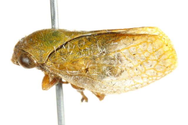 Image of Paraneoptera