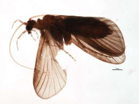 Image of Limnocentropus