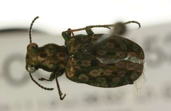 Image of <i><i>Elaphrus</i></i> (Elaphrus) <i>americanus</i> Dejean 1831