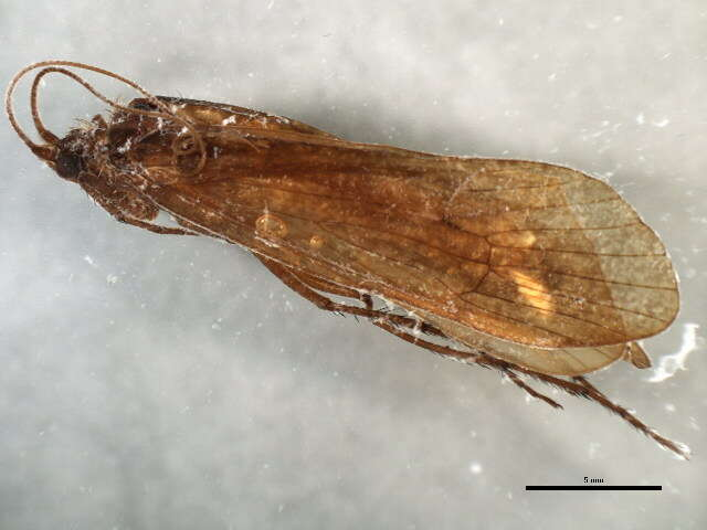 Image of Stenophylax